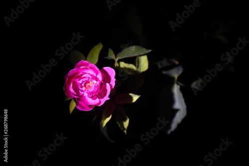 Fototapety, obrazy: rose on a black background