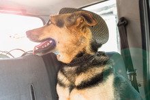 A Large Dog Sits In The Car An...
