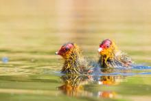 Coot Chick Fulica Atra Swimming Closeup