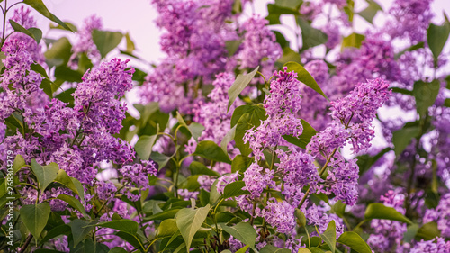 Foto op Plexiglas Lilac Twigs of a blossoming lilac close up. Clusters of fragrant lilac in the light of the setting sun