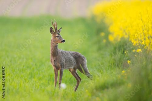 Roebuck - buck (Capreolus capreolus) Roe deer - goat Poster Mural XXL