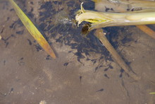 Tadpoles Toads And Frogs In Th...