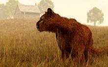 A Cougar Stalks Through Tall G...