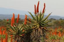 Typical Eastern Cape Winter Landscape With Bright Reddish Orange Flowering Aloe Ferox Plants.