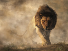 A Male Lion Stalks Towards You...