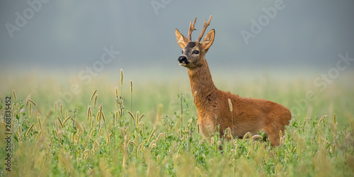 Deurstickers Ree Roe deer, capreolus capreolus, buck standing in tall grass looking away in summer with space for text. Male deer animal in the wild.