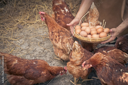 Photo sur Aluminium Poules Close-up farmer hands holding fresh chicken eggs into basket at a chicken farm in him home area. Concept of organic farm.