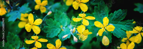 Yellow Celandine blossoms in spring