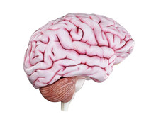 3d Rendered Medically Accurate Illustration Of A Human Brain Isolated On White
