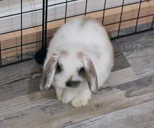 Holland Lop Eared Bunny Rabbit...
