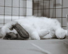 Holland Lop Eared Bunny Rabbit...