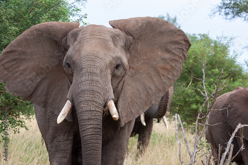 Poster Olifant elephant national parks and nature reserves of south africa