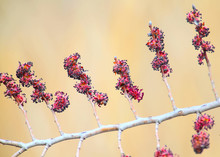 A Branch Of Flowering Elm Photographed On A Blurred Beige Background. Close-up And Detailed Photo