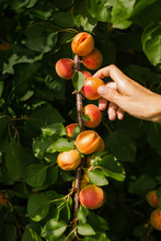 Picking The Sweet Apricots
