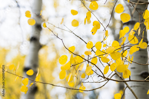 Papiers peints Bosquet de bouleaux White quaking aspens in the fall with bright yellow leaves