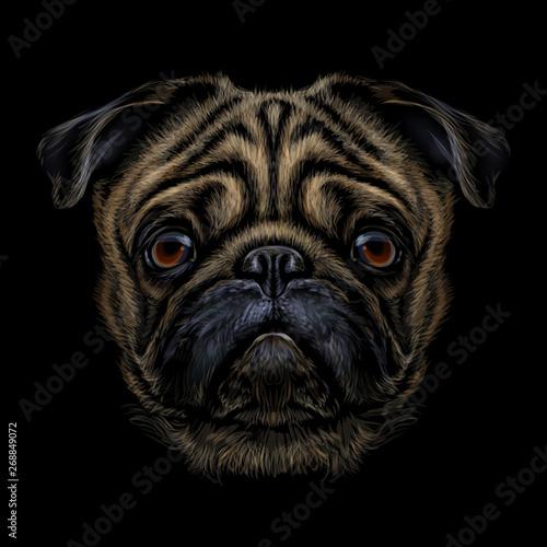 Fototapeta Hand-drawn, color graphic portrait of a pug breed dog on a black background. obraz na płótnie