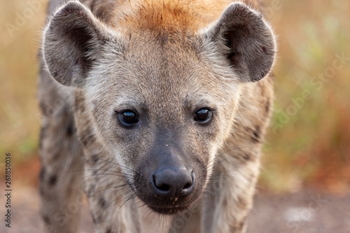 Foto op Aluminium Hyena hyaena national parks and nature reserves of south africa