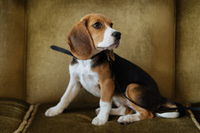 Little Cute Beagle On Leash Si...