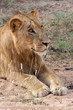 lion in the national parks and nature reserves of south africa