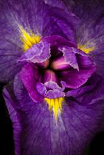 Iris Macro