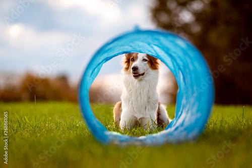 Süßer Hund liegt vor einem Tunnel oder Röhre, Agility und Parcours Wallpaper Mural