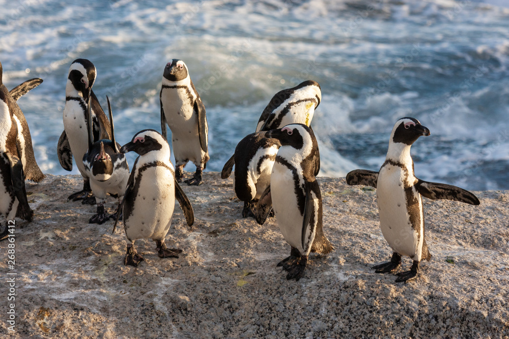 african penguin bolder beach cape town national parks and nature reserves of south africa