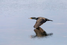 Down On The Deck - A Cormorant...