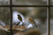 Desert Orange Morph House Finches On A Bird Feeder