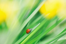 Macro Of Ladybeetle Walking On Daffodil's Leaf With Blurred Yellow Flowers On The Background