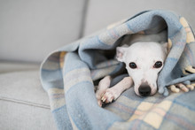 A Little White Dog Or Puppy Resting Underneath A Plaid Blanket