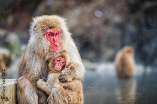 фотография  Snow monkey hug at Jigokudani Park