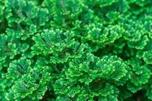 Spike Moss(Selaginella Willden...