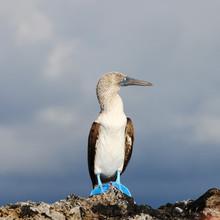 Blue Footed Boobie. Galapagos ...