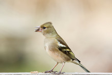 Female Finch Bird Eating Sunflower Seed At The Birdtable