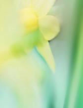 Blurry Daffodil In Spring