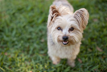 Portrait Of Yorkie Dog Outside