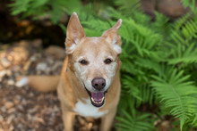 Portrait Of Mixed Breed DIngo Dog Outside