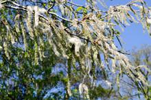 Populus Tremula Seeds All Over