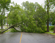 Large Tree Fallen Across A Road. The Road Is Completely Blocked. Leaves Still On Tree. Overcast Sky Above. Other Trees Still Standing.