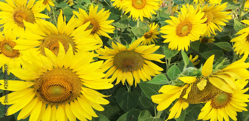 Foto auf Gartenposter Gelb Closeup of sunflowers field landscape .