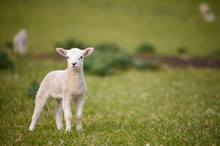 Spring Lambs And Sheep In Green Meadow