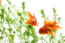 Carassius Auratus Goldfish Background White Aquatic Plants