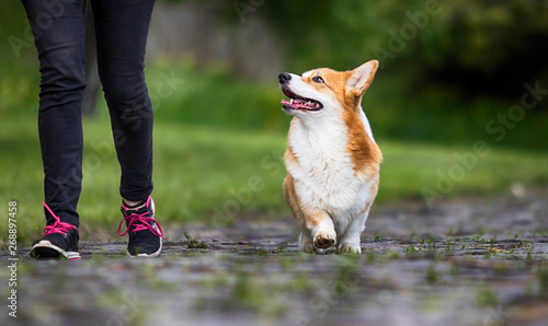 red dog welsh corgi pembroke