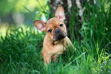 French Bulldog Puppy Playing I...