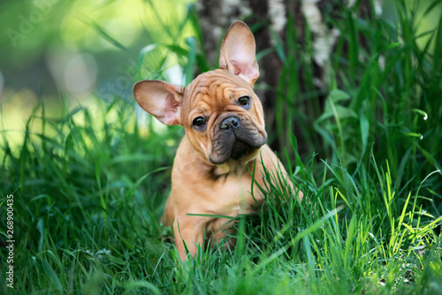 Fototapeta french bulldog puppy playing in the grass