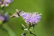 Sphinx Moth, Newton Hills State Park, South Dakota