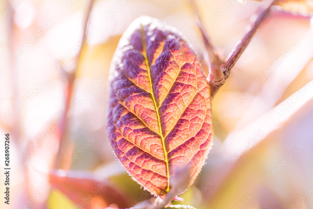 Fototapety, obrazy: Colourful leaves background on blurred greenery leaf bokeh in garden summer with copy space