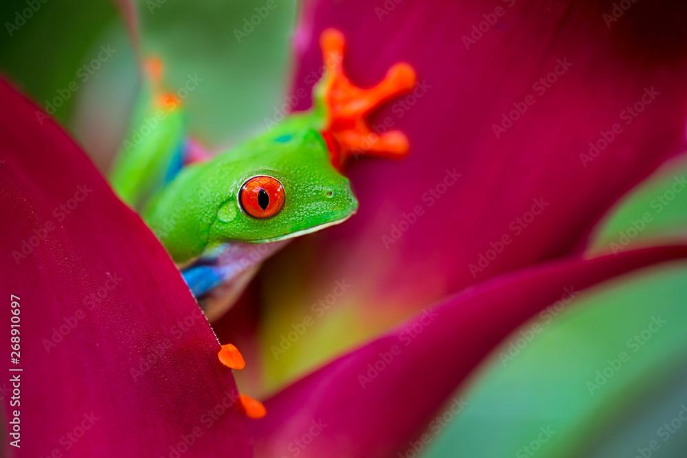 Fototapeta red eyed tree frog Costa Rica