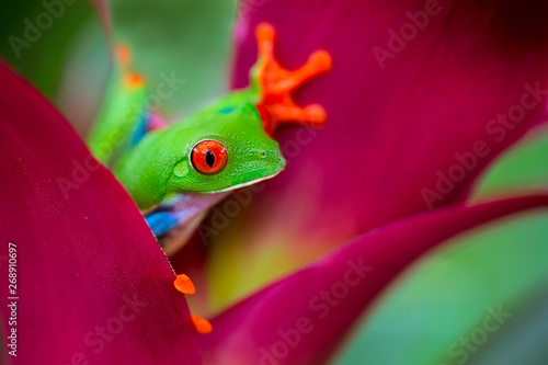 Spoed Foto op Canvas Kikker red eyed tree frog Costa Rica