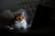 Portrait of golden british shorthair cat lying in bed near laptop